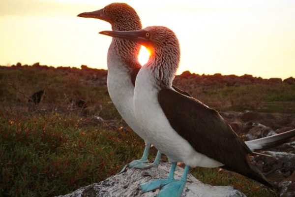 Blue footed booby couple Galapagos Island