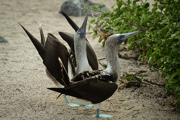 Blue footed booby mating dance Galapagos Island