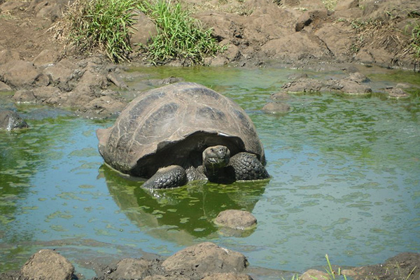 Giant Tortoise in the Galapagos Island