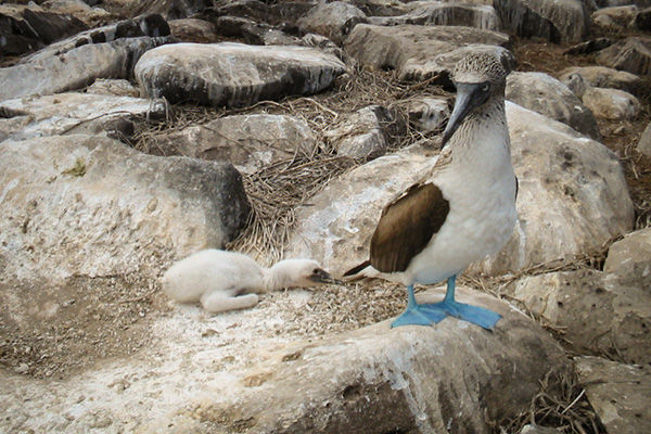 Mother blue footed booby with baby Galapagos Island