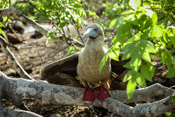 Red footed booby in Galapagos Island